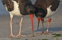 Image by NorthShoreTina (northshoretina) and image name Opening up a crab for Junior photo  about American Oyster Catcher