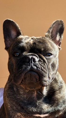 French Bulldog - Rebecca