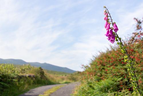 Roadside foxglove flower