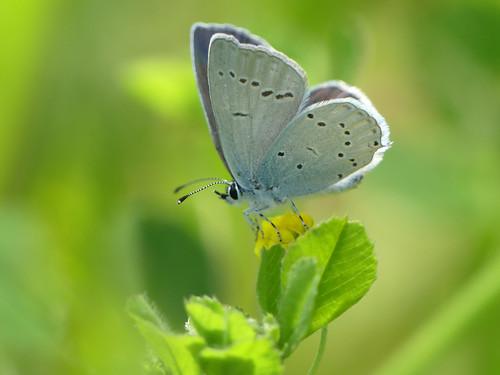 Provençal Short-tailed Blue (Cupido alcetas)
