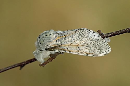 71.003 Puss Moth (Cerura vinula), Muir of Dinnet NNR, Aberdeenshire