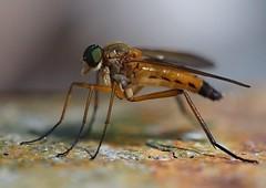 Unidentified Snipefly (Rhagio sp.), Vallée du Dourdon, Le Collet-de-Dèze, Lozère, France - Photo of Saint-Andéol-de-Clerguemort
