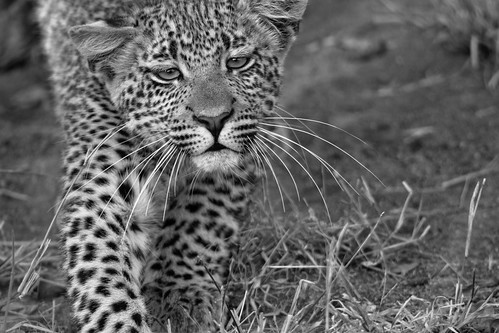 fine art black & white of a leopard cub pulling a face as she walks through the bush. Elephant Plains Game Lodge, Sabi Sand Game Reserve, Kruger National Park, South Africa.