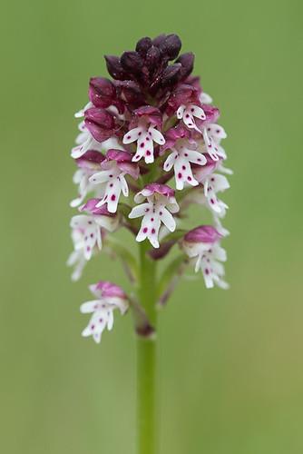 Orchis brûlé (Neotinea ustulata)