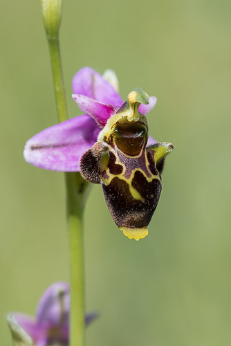 Ophrys bécasse (Ophrys scolopax)