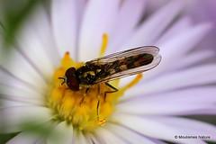 6 - Hoverflies I