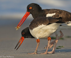 Image by NorthShoreTina (northshoretina) and image name American Oystercatcher with chick photo  about Even though the youngster is almost as big as its parent, the parent continues to feed it until fledging.