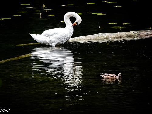 Le Cygne de l'étang de Groenendael