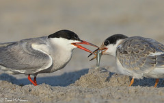 Image by NorthShoreTina (northshoretina) and image name The hand-off photo  about Adult Common Tern with a fish for its fledgling.