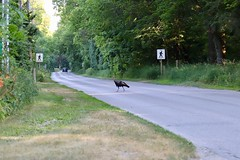 Turkey crossing Point Pelee Drive
