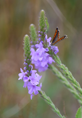 American Copper on Hoary Vervain