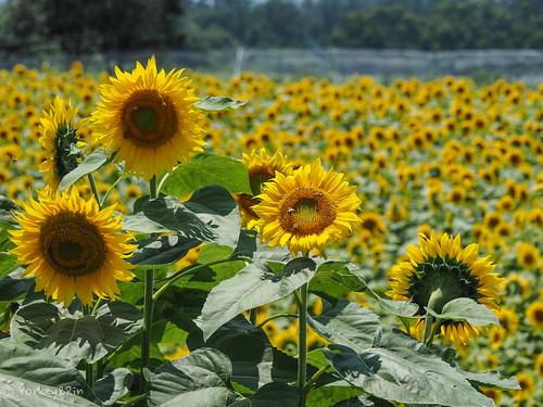 2019 Sunflower #5