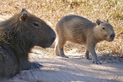 Capybaras (Hydrochoerus hydrachaeris) female and young ...