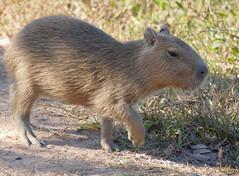 Capybara (Hydrochoerus hydrachaeris) young ...