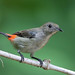 Scarlet-backed Flowerpecker (Dicaeum cruentatum) 朱背啄花鸟