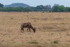 Leierantilope / Common Tsessebe