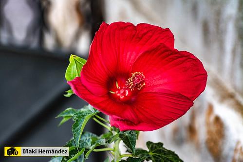 Hibisco Gigante rojo (Hibiscus rosa-sinensis)