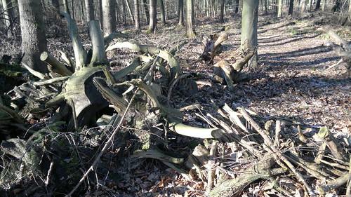 Altholz im Wald