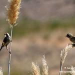 Aves en las lagunas de La Guardia (Toledo) 18-8-2019