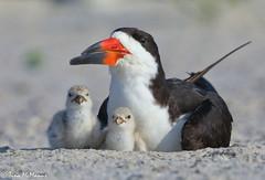 Image by NorthShoreTina (northshoretina) and image name Black Skimmer with chicks photo