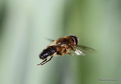 7 - Hoverflies II - Eristalini