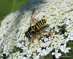 8 - Hoverflies III