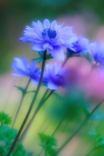 Windflower - VII