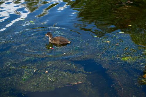 Duckling 2
