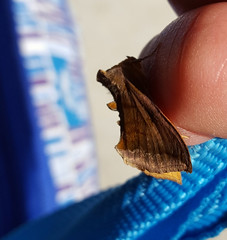 Unspotted Looper Moth Allagrapha aerea