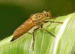 Eutolmus rufibarbis (female)