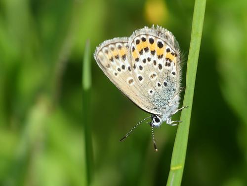 Silver-studded Blue (Plebeius argus)