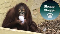 Orangutan Uses Wall To Knock Bits Of Her Ice Treat