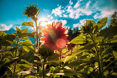 Lens flare and sunflowers