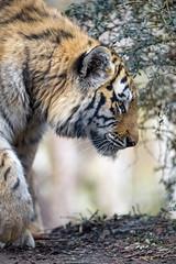 Pofile of a young tigress walking