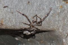 Spider's