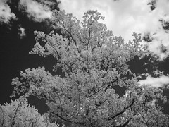 Tree, Sky & Clouds Infrared; Long Island, New York