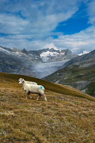 """Dessine moi un mouton, draw me a sheep..."" In the Furkapass. Canton of Valais & Uri. Switzerland. No, 2036."