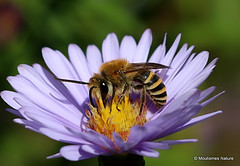 11 - Bees; Colletes to Anthidium