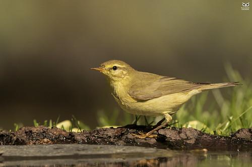 Felosa-musical, Willow warbler (Phylloscopus trochilus)