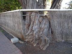 Tree v Fence