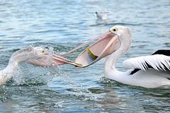 Pelican Food Squabble