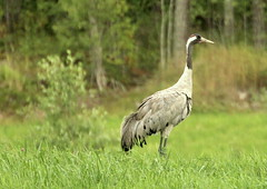 The gallant crane