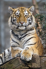 young tigress posing well