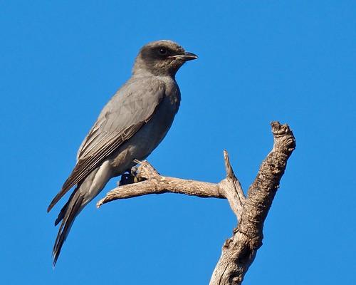 Cuckoo-shrike - Black-faced (Coracina novaehollandiae :ssp: melanops) (juv.)