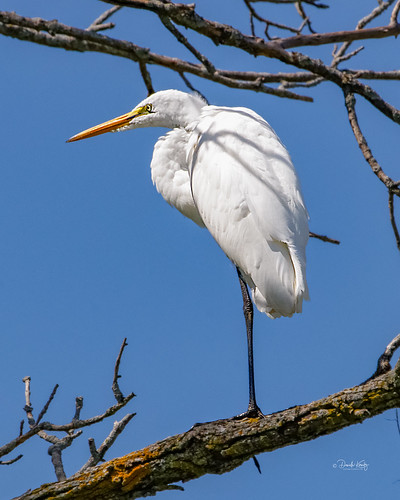 IMG_6127_DxO_Great Egret Standing on a Tree Branch@1