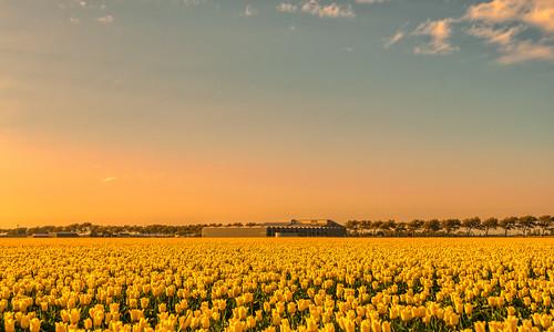 A Dutch barn tending his herd of tulips.