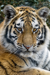Another portrait of a young Siberian tigress