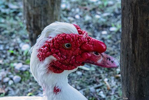 Anatra Muta   ---   Muscovy Duck
