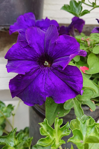 Petunia morada híbrida (móvil)