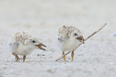 Image by NorthShoreTina (northshoretina) and image name Two Black Skimmer chicks photo  about As soon as one picks up a stick, the other one has to have it.